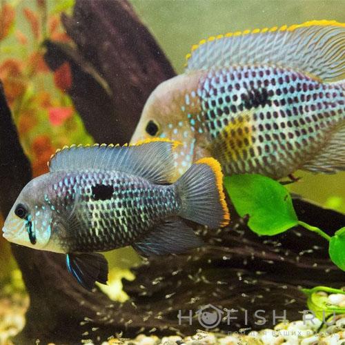 Аквариумная рыбка Акара