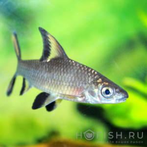 Аквариумная рыбка Акулий бала
