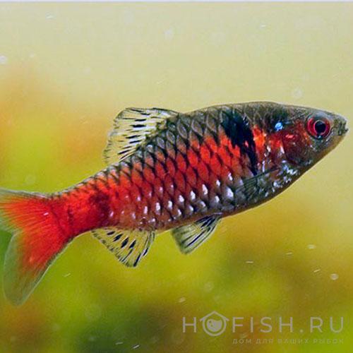 Аквариумная рыбка Барбус