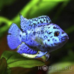 Аквариумная рыбка Цихлазома