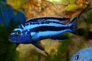 Разновидности аквариумных рыб. Цихлиды.