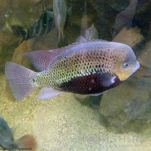 Аквариумная рыбка Цихлида