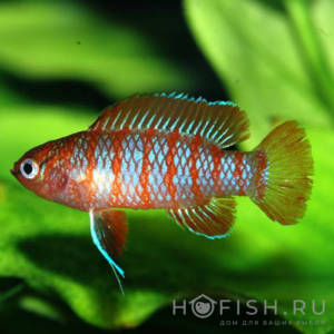 Аквариумная рыбка Дарио