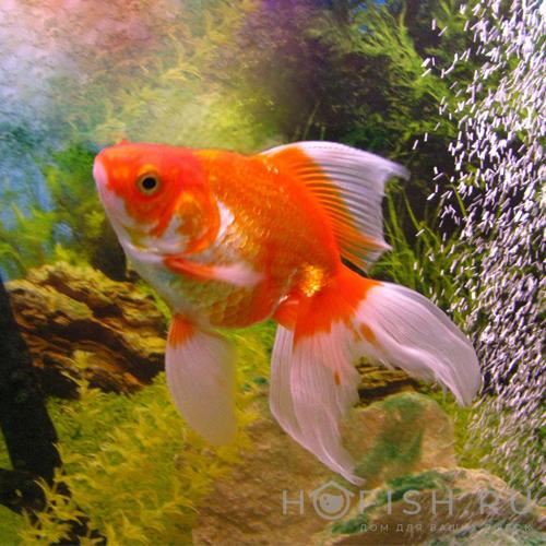 Аквариумная рыбка Фантейл