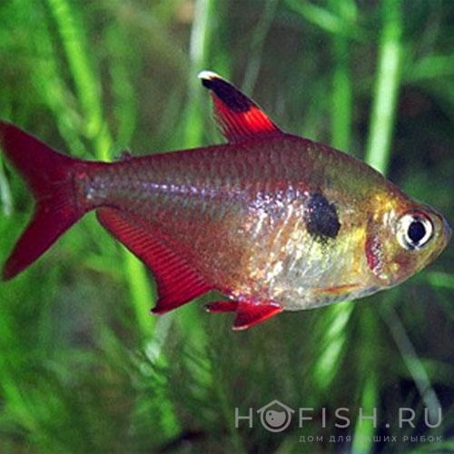 Аквариумная рыбка Фантом