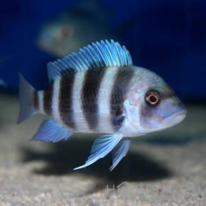 Аквариумная рыбка Фронтоза