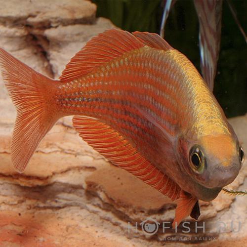 Аквариумная рыбка Глоссолепис