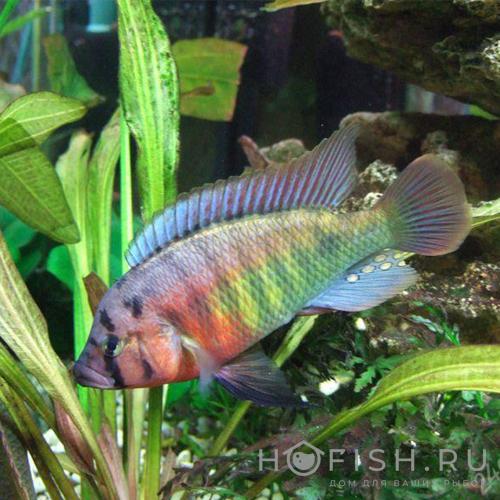Аквариумная рыбка Хаплохромис