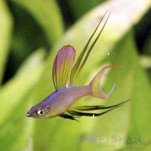 Аквариумная рыбка Ириатерина