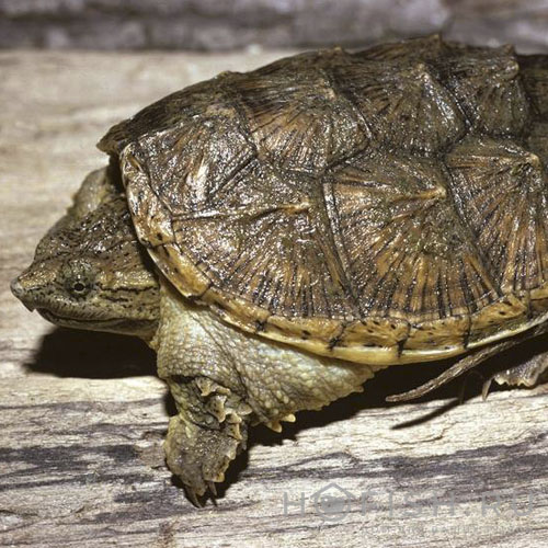 Аквариумная Каймановая черепаха