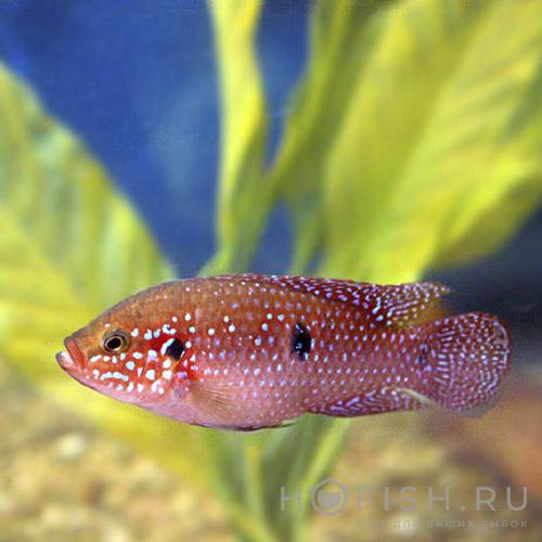 Аквариумная рыбка Хемихромис