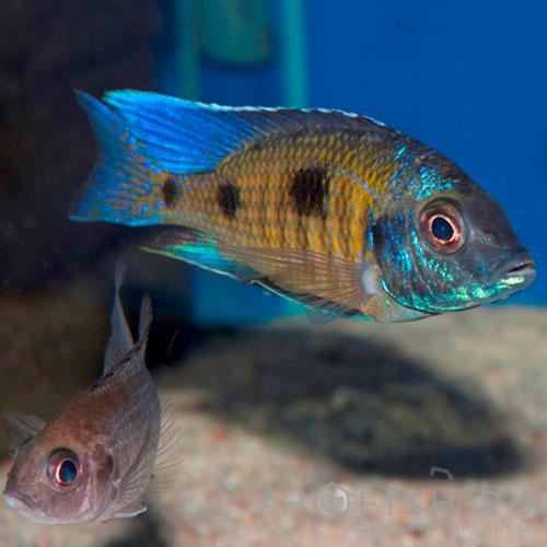 Аквариумная рыбка Копадихромис