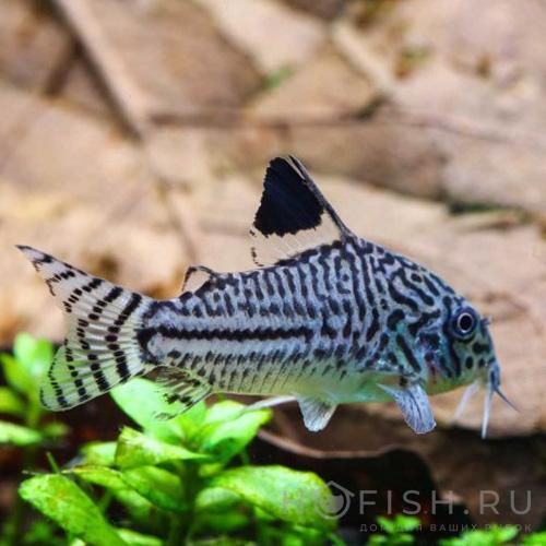 Аквариумная рыбка Коридорас Джюли