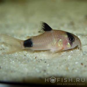 Аквариумная рыбка Коридорас панда