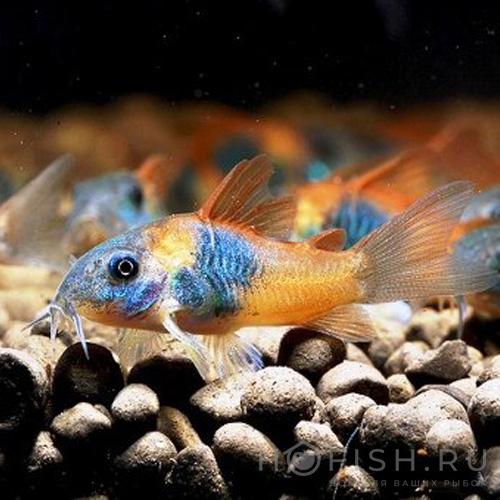 Аквариумная рыбка Коридорас Венесуэла
