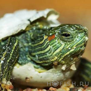 Аквариумная Красноухая черепаха