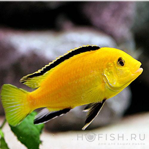 Аквариумная рыбка Лабидохромис