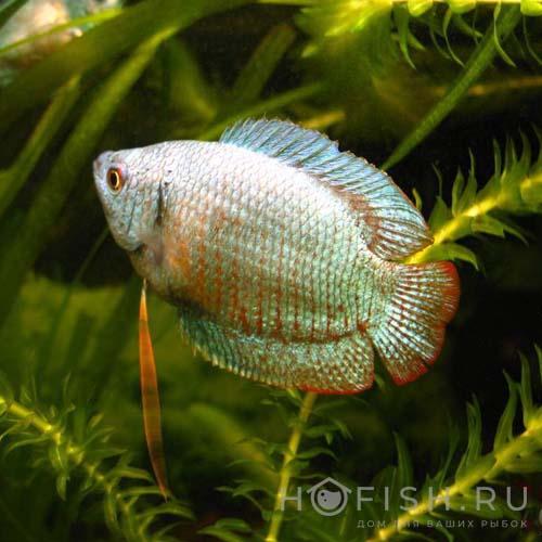 Аквариумная рыбка Лялиус