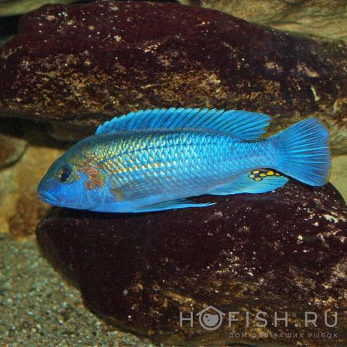 Аквариумная рыбка Меланохромис
