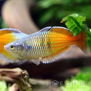 Аквариумная рыбка Меланотения