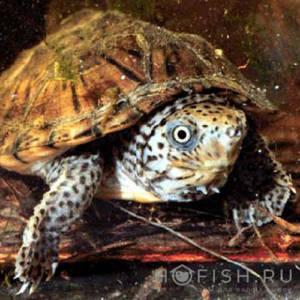 Аквариумная Мускусная черепаха