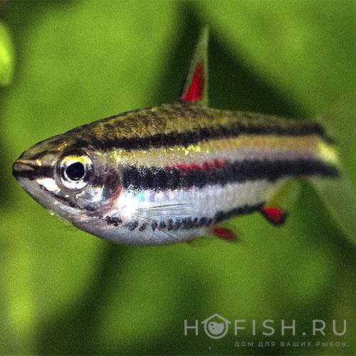 Аквариумная рыбка Нанностомус