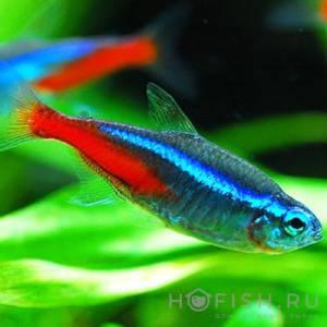 Аквариумная рыбка Неон