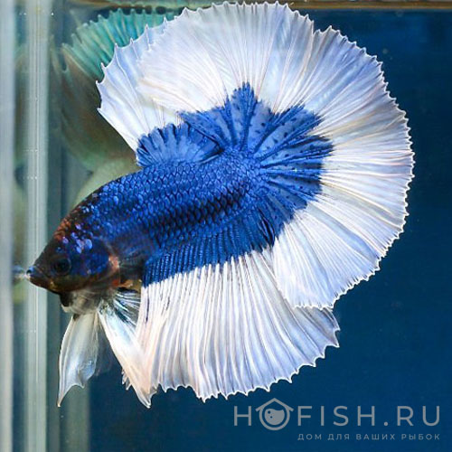 Аквариумная рыбка Петушок