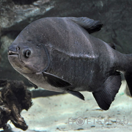 Аквариумная пиранья Черный паку