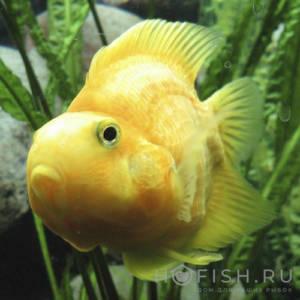 Аквариумная рыбка Попугай