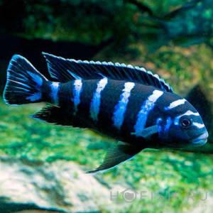 Аквариумная рыбка Псевдотрофеус