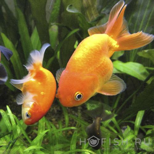 Аквариумная рыбка Ранчу