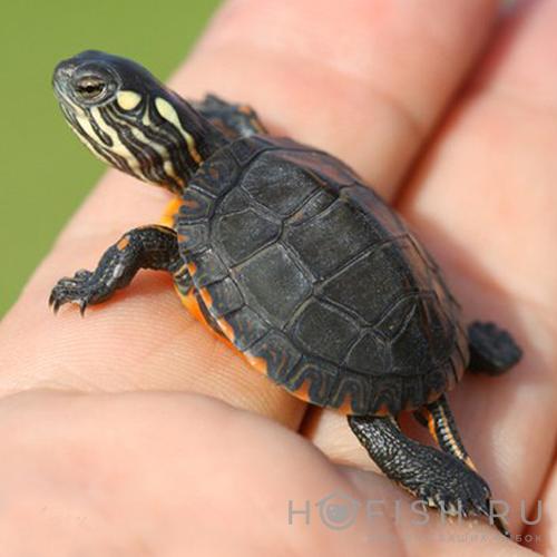 Аквариумная Расписная черепаха