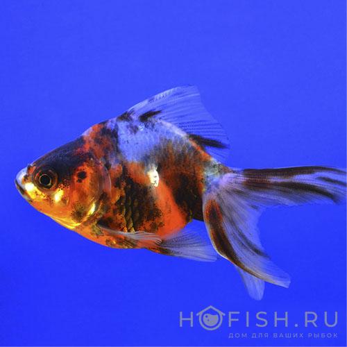 золотая рыбка Риукин