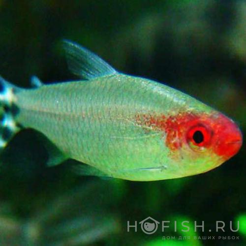 Аквариумная рыбка Родостомус