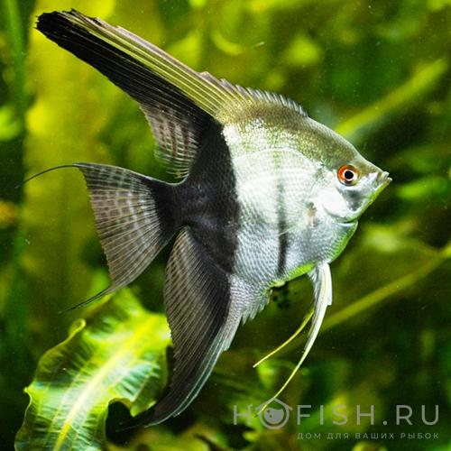 аквариумная рыбка Скалярия
