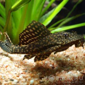 Аквариумная рыбка Сом Парчовый