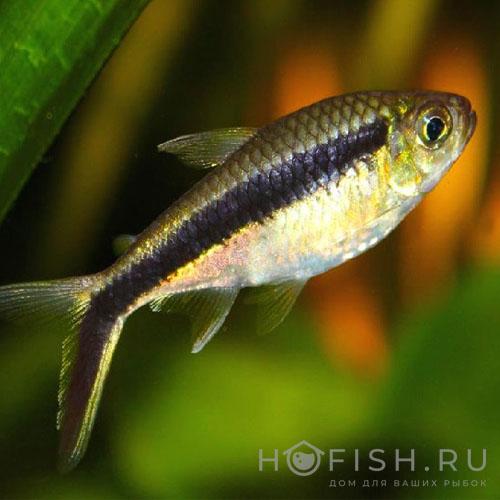 Аквариумная рыбка Тайерия