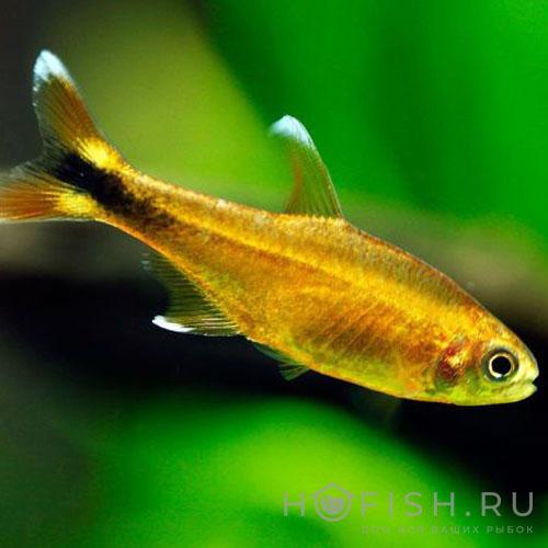 Аквариумная рыбка Тетра