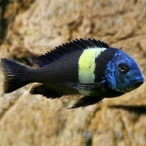 Аквариумная рыбка Трофеус