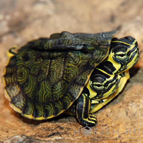 Аквариумная Желтоухая черепаха