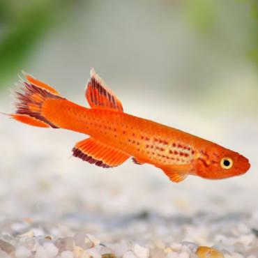 Разновидности аквариумных рыб. Семейство карпозубых.