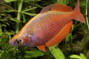 Разновидности аквариумных рыб. Семейство атериновых.