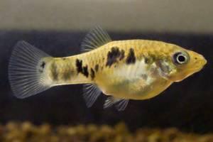 Разновидности аквариумных рыб. Семейство пецилиевых.
