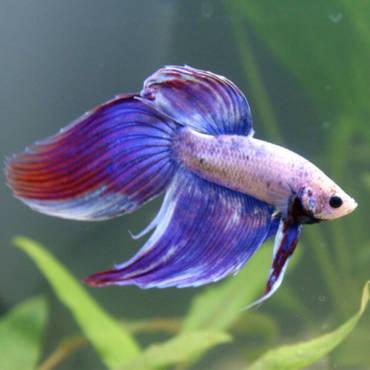 Разновидности аквариумных рыб. Семейство лабиринтовых.