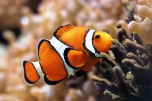 Разновидности аквариумных рыб. Семейство помацентровых.