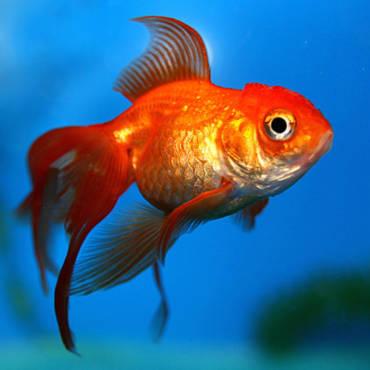 Разновидности аквариумных рыб. Семейство карповых.