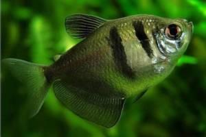 Разновидности аквариумных рыб. Семейство харациновых.