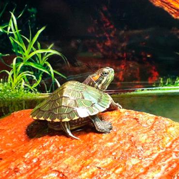 Выбор аквариума для черепахи