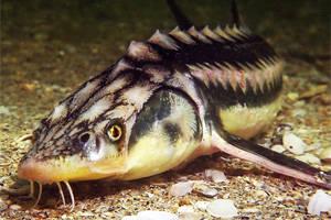 Осётр в домашнем аквариуме